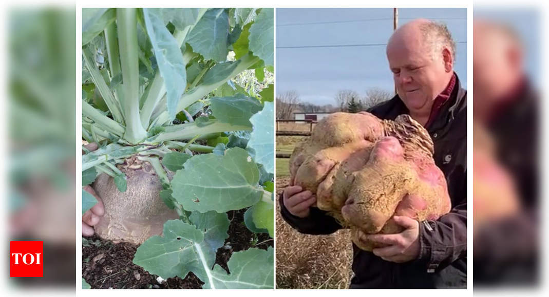 Have You Seen The Biggest Turnip?